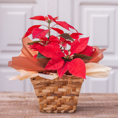 Imagem de Flor de Natal